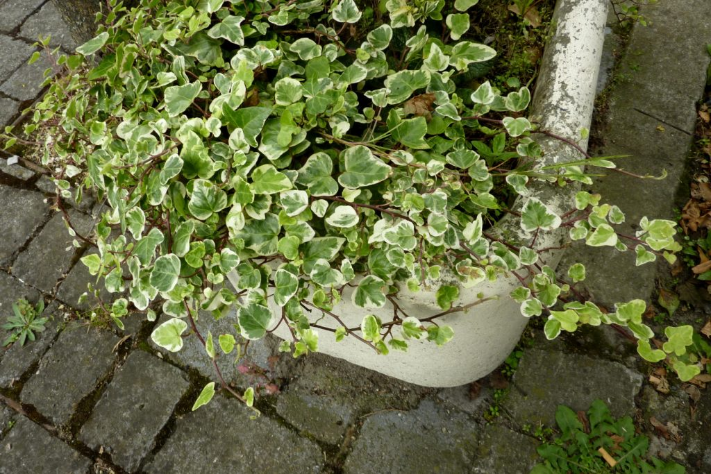 english-ivy-variegated