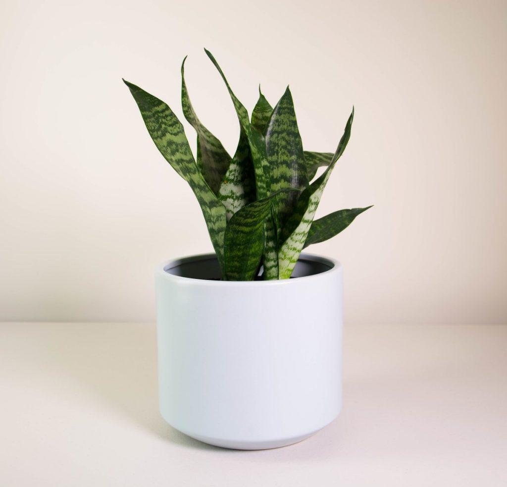 snake-plant-grey-fredrik-m